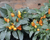 Hot tips on chillies