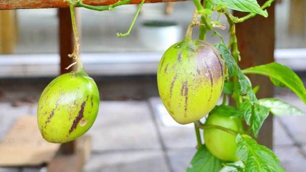 A ripe pepino with purple stripes_Melbourne Food Forest