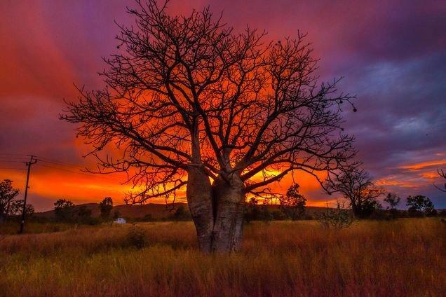 "Icon of the Kimberley ""The Boab Tree"""