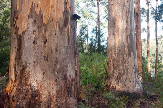 Karri Trees at Big Brook, Pemberton WA