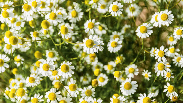 Chamomile flowers by istock Issue 117