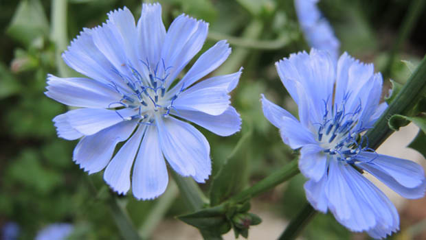 Chicory by Helen McKerral