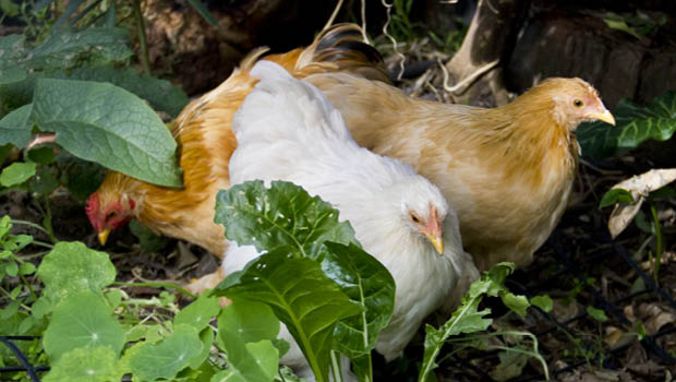 Chooks can eat worms but need more protein than they provide