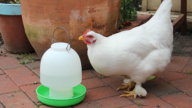 Hydrating hens by Jessamy Miller
