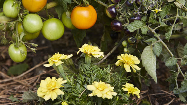 Tomatoes by Kirsten Bresciani