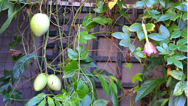 Pepinos growing happily amongst banana passionfruit vine. The pink dainty flowers on the right belong to the banana passionfruit.