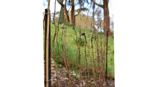 Raspberry floricanes tied up by Helen McKerral
