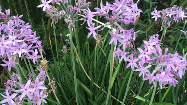 Society garlic_Karen Sutherland