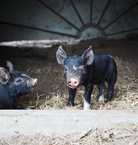 124 Berkshire pigs by Kirsten Bresciani
