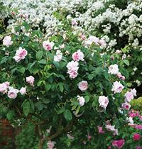 125 rose by Gap Photos