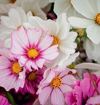 128 Cosmos flowers by Melanie Kercheval