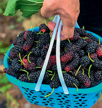 126 Mulberries by Alamy