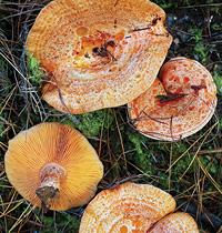 124 Saffron milk cap mushroom by Alison Pouliot