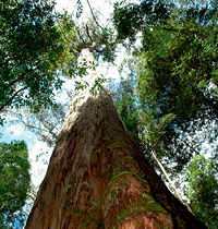 126 Eucalyptus regnans by Alamy