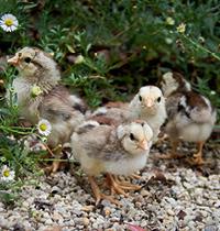 128 Chicks by Jessamy Miller