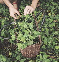 foraging for wild greens