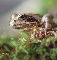 Lichen_frog