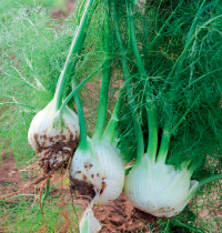 121 fennel by iStock