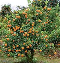 111 Cumquats