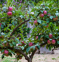 123 heritage fruit tree by Diggers Club