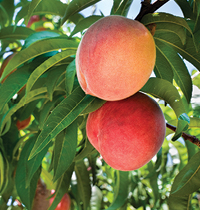 peaches to savour