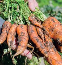 biodynamic carrots