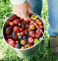 119 tomatoes by Kirsten Bresciani