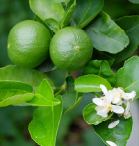 121 limes by iStock