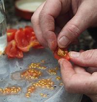 123 Saving tomato seeds by Gap Thomas Alamy