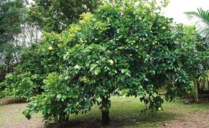 Established tree