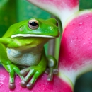 White-lipped green tree frog.