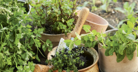Herbs in pots can be moved around your garden as needed.