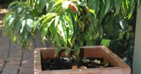 Potted Trixzie – a miniature fruit tree  of Pixzie cultivar