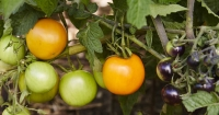 Get ready for a summer harvest of tomatoes.
