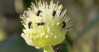 Native stingless bees
