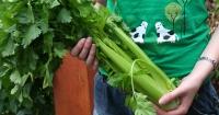 A bunch of celery