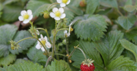Delicious alpine strawberry