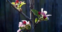 Anna Apple Blossom