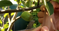 Fruit Fly Crop Protection