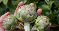 Flower buds of artichoke
