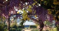 Banksia Rose Wisteria