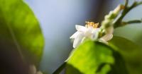 lemon tree flower