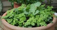 Young chervil plants
