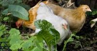 Chooks love foraging for bugs.