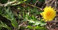 Edible dandelion