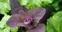 Red salad leaves