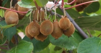 Kiwi fruit on vine