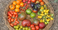 Tomatoes of many colours.