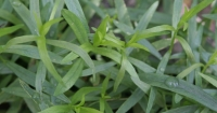 Bright green leaves of French tarragon