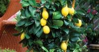 Potted heritage lemons
